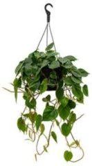 Plantenwinkel.nl Philodendron scandens M hangplant