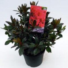 "Plantenwinkel.nl Rododendron (Rhododendron Japonica ""Georg Arends"") heester - 3 stuks"