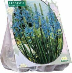 Baltus Camassia Cusickii - 2 x 5 stuks