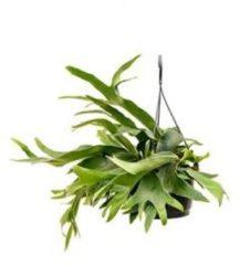 Plantenwinkel.nl Platycerium bifurcatum S hertshoornvaren hangplant