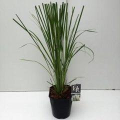 Plantenwinkel.nl Pampasgras (Cortaderia selloana) siergras - 7 stuks