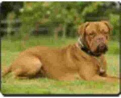 Advanta Dogue de bordeaux Muismat