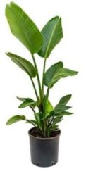 Plantenwinkel.nl Strelitzia nicolai L kamerplant