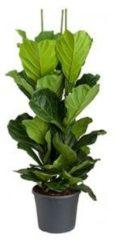 Plantenwinkel.nl Ficus lyrata L2 kamerplant