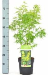 "Plantenwinkel.nl Japanse esdoorn (Acer palmatum ""Seiryu"") heester - 3 stuks"