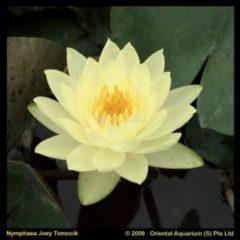 Moerings waterplanten Gele waterlelie (Nymphaea Joey Tomocik) waterlelie - 6 stuks