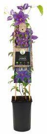 """Afbeelding van Plantenwinkel.nl Violet bosrank (Clematis """"Mrs. N. Thompson"""") klimplant - 4 stuks"""