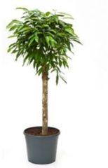 Plantenwinkel.nl Ficus amstel king stam kamerplant