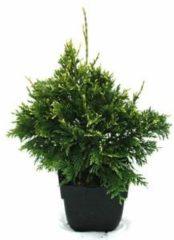 "Plantenwinkel.nl Reuzenlevensboom (Thuja plicata ""Can-Can"") conifeer - 6 stuks"