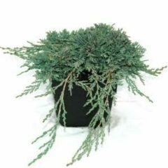 "Plantenwinkel.nl Kruipende jeneverbes (Juniperus horizontalis ""Ice Blue"") conifeer - 6 stuks"