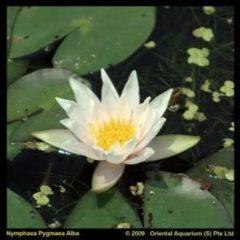 Moerings waterplanten Witte dwergwaterlelie (Nymphaea pygmea alba) waterlelie - 6 stuks