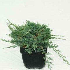 "Plantenwinkel.nl Kruipende jeneverbes (Juniperus horizontalis ""Wiltonii"") conifeer - 6 stuks"