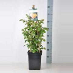 "Plantenwinkel.nl Engelse klimroos (rosa ""Graham Thomas""®)"
