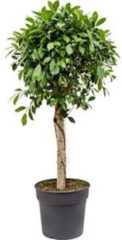 Plantenwinkel.nl Ficus nitida kamerplant