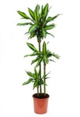 Plantenwinkel.nl Dracaena cintho S kamerplant