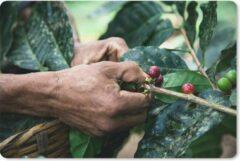 MousePadParadise Muismat Oogsten - Een mens oogst de koffiebonen muismat rubber - 27x18 cm - Muismat met foto