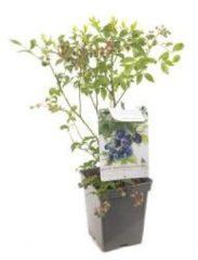 """Plantenwinkel.nl Bosbes (vaccinium corymbosum """"Bluecrop"""") fruitplanten - In 5 liter pot - 1 stuks"""