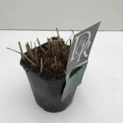 "Plantenwinkel.nl Vingergras (Panicum virgatum ""Prairie Sky"") siergras - In 2 liter pot - 1 stuks"