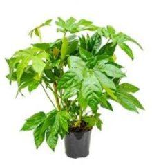 Plantenwinkel.nl Vingerplant Fatsia japonica S kamerplant