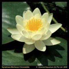"""Moerings waterplanten Gele waterlelie (Nymphaea """"Marliacea Chromatella"""") waterlelie - 6 stuks"""