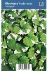 "Plantenwinkel.nl Hondsdraf (glechoma hederacea ""Variegata"") schaduwplant - 12 stuks"