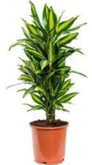 Plantenwinkel.nl Dracaena cintho M kamerplant