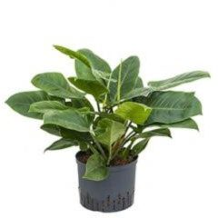 Plantenwinkel.nl Philodendron imperial groen M hydrocultuur plant