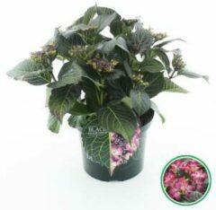 "Plantenwinkel.nl Hydrangea Macrophylla ""Black Diamond® Dark Angel Purple""® schermhortensia - 30-40 cm - 1 stuks"