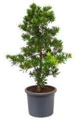 Plantenwinkel.nl Podocarpus latifolius bush bonsai kamerplant
