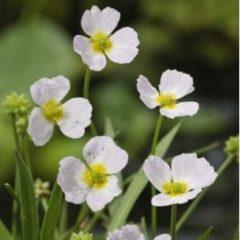 Moerings waterplanten Stijve moerasweegbree (Baldellia ranunculoides) moerasplant - 6 stuks
