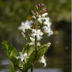 Moerings waterplanten Waterdrieblad (Menyanthes Trifoliata) moerasplant - 6 stuks