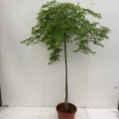 """Plantenwinkel.nl Japanse esdoorn (Acer palmatum """"Dissectum"""") heester - op stam 130 cm - 1 stuks"""