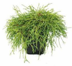 "Plantenwinkel.nl Schijncipres (Chamaecyparis pisifera ""Filifera Nana"") conifeer - 6 stuks"