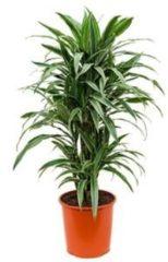 Plantenwinkel.nl Dracaena deremensis L kamerplant