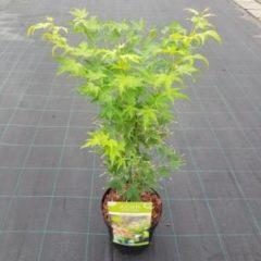"""Groene Plantenwinkel.nl Japanse esdoorn (Acer palmatum """"Going Green"""") heester - 3 stuks"""
