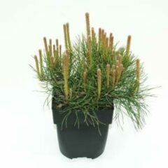 "Plantenwinkel.nl Bergden (Pinus mugo ""Mughus"") conifeer - 6 stuks"