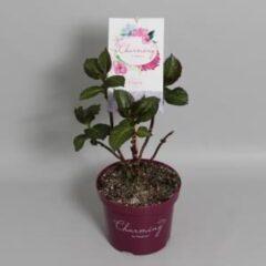 "Plantenwinkel.nl Hydrangea Macrophylla ""Charming® Claire Blue""® boerenhortensia - 25-30 cm - 1 stuks"
