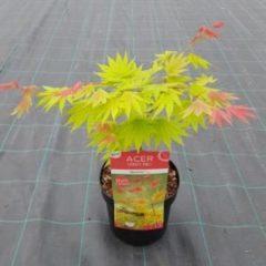 "Plantenwinkel.nl Japanse esdoorn (Acer shirasawanum ""Moonrise"") heester - 3 stuks"
