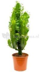 Plantenwinkel.nl Euphorbia cactus acruensis M kamerplant