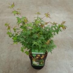 "Plantenwinkel.nl Japanse esdoorn (Acer palmatum ""Little Princess"") heester - 40-50 cm - 1 stuks"