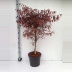 "Plantenwinkel.nl Japanse esdoorn (Acer palmatum ""Enkan"") heester - 80+ cm - 5 stuks"
