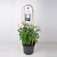 """Plantenwinkel.nl Rambler klimroos (rosa """"Perennial Blush""""®)"""