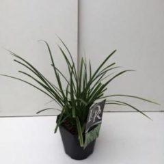 "Plantenwinkel.nl Zegge (Carex morrowii ""Variegata"") siergras - 6 stuks"