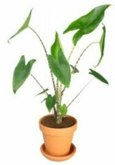 Oranje Plantenwinkel.nl Plantenwinkel Alocasia zebrina XS plant in pot terracotta