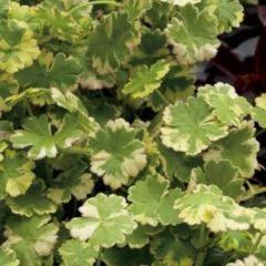 """Moerings waterplanten Bonte waternavel (Hydrocotyle sib. """"Variegata"""") zuurstofplant - 10 stuks"""