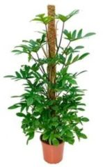 Plantenwinkel.nl Philodendron pedatum mosstok 150 kamerplant