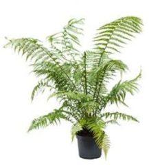 Plantenwinkel.nl Dicksonia antartica L boomvaren kamerplant