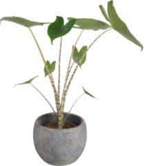 Blauwe Plantenwinkel.nl Plantenwinkel Alocasia zebrina XS plant in pot fay blue gold
