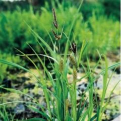 Moerings waterplanten Oeverzegge (Carex riparia) moerasplant - 6 stuks
