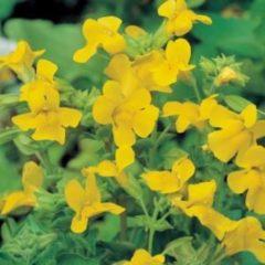 Moerings waterplanten Gele maskerbloem (Mimulus luteus) moerasplant - 6 stuks